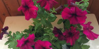 Петуния Марко Поло Бургунди F1. IV этап. Развитие растений и уход за ними. Первое цветение