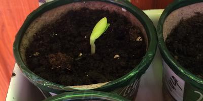 Кабачок белоплодный Дядя Федор. II этап. Всходы, появление настоящих листьев