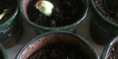 Кабачок цуккини Тигренок. III этап. Развитие растений и уход за ними. Пикировка рассады