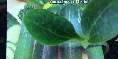 Кабачок цуккини Генерал. III этап. Развитие растений и уход за ними. Пикировка рассады