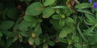 Семена на гибридной петунии