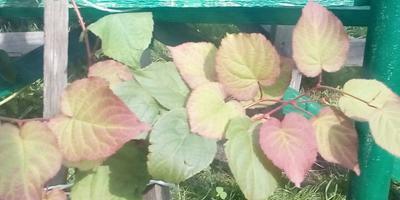 Помогите определить пол растения актинидия коломикта
