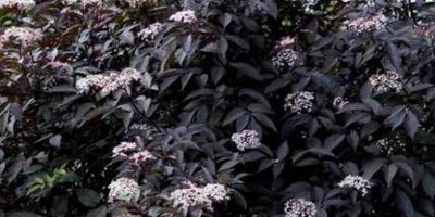 Как выращивать бузину черную при высоких грунтовых водах на северо-западе?