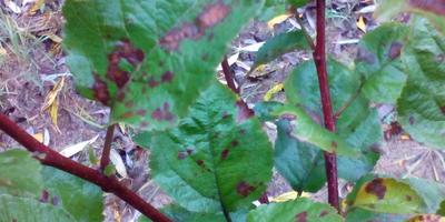 На листьях яблонь появились какие-то пятна. Что это и как бороться с этим?