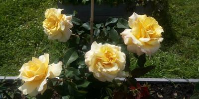 Уважаемые семидачники! Помогите определить сорта роз