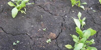 Шпинат Жирнолистный. Всходы и развитие растений
