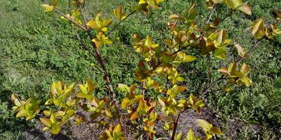 Почему молодые листочки черной рябины краснеют весной?