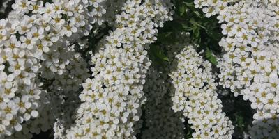 Кружева весны - спирея серая