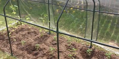 Мини-помидоры в мини-парнике - маленькая радость садовода