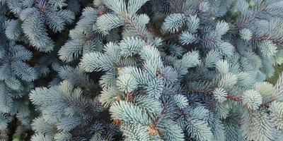 Голубая елочка - шарм в саду