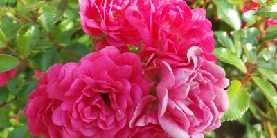 Роза Heidetraum - главная красавица моего сада