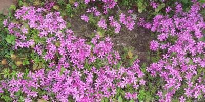 Альпийские цветы моего сада - неприхотливость и нежность