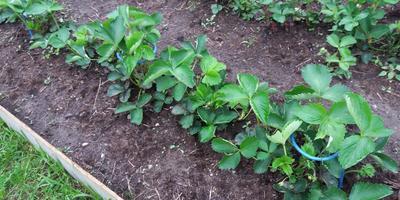 Клубничный секретик: теперь ягоды на землю не ложатся