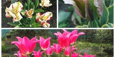 Секреты выращивания тюльпанов - красота и декоративность не теряются!