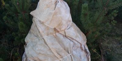 Окончание сезона с хвойниками – укрытие и обвязка