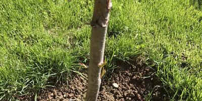 Как лучше поступить с грушами? Стоит ли оставить деревья?