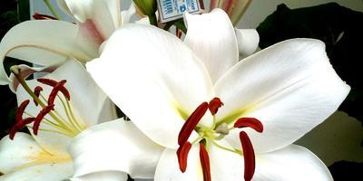 Подскажите сорт лилии