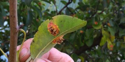 Что за болезнь груши и как с ней бороться?