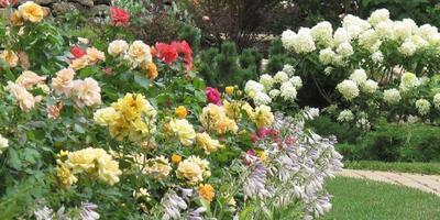 Проблемы в выращивании роз: ищите слабое звено!