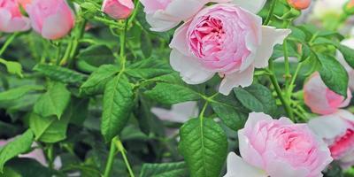 Розы Остина: кто на новенького?