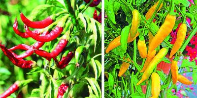 Добавьте остроты: отечественные сорта горького перца