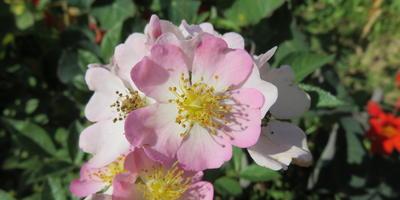 Роза «Крылья Ангелов» или «Энджел Вингс»