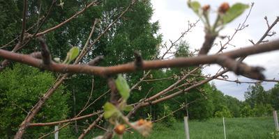 Подскажите, что с яблоней и как ей можно помочь?