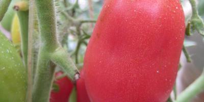 Колокола России — томат от агрофирмы СеДеК