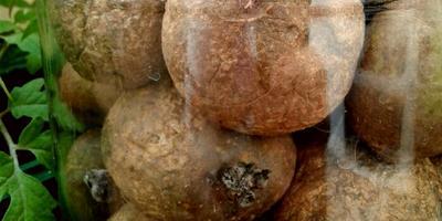За месяц клубни картофеля Розара не дали ростков. Можно ли посадить такие клубни?