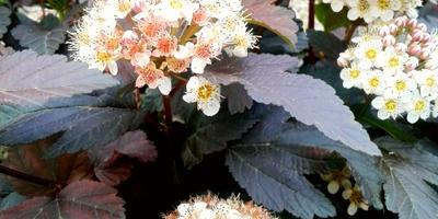Что за цветущий кустарник появился у нас в парке?