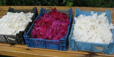 Можно ли как-то использовать лепестки цветков пиона?