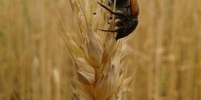 Подскажите, что это за жук?