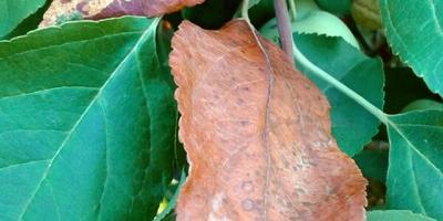 Почему сохнут листья на некоторых ветках ранетки?