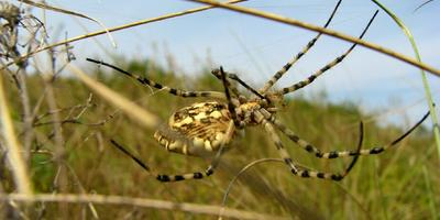 Что это за огромный степной паук?