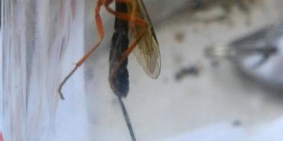Что это за летающее насекомое?