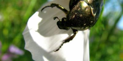 Что это за жук и чем он питается?