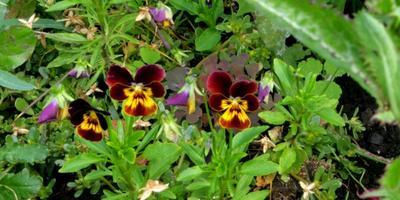 Тестирование перчаток Garden Genie Gloves. Тест 8: пересадка цветка с клумбы в горшок