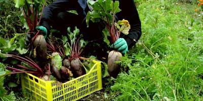 Тест 10: уборка урожая моркови и свеклы при помощи перчаток с когтями