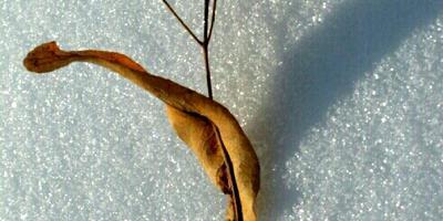 С какого дерева семена? Дадут ли они всходы?