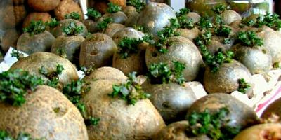 Мой маленький секрет крупного и раннего картофеля