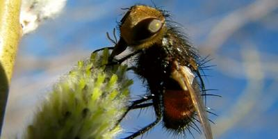 Что за странные пчёлы или осы прилетели на цветущую вербу?