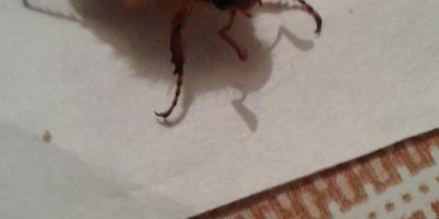 Что за жук прилетел на свет лампочки в комнату?
