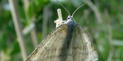 Что это за бабочка или мотылёк?