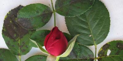 Чем заболела наша роза?