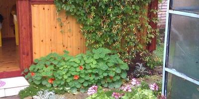 """Ипомея """"Динь-динь"""", или Мина Лобата в моем саду"""