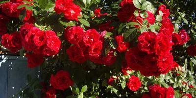 «Танец пламени» - роза Фламментанц