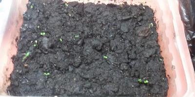 Поделитесь опытом выращивания вербены из семян