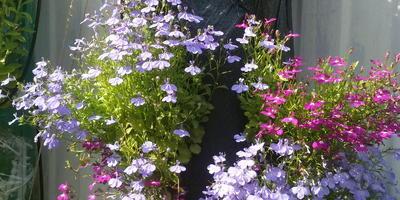 Сажаем петунью в кармашки для цветов