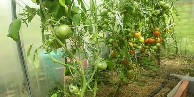 Как в Подмосковье вырастить большой урожай помидоров...