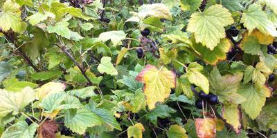 Почему стали мельчать, бледнеть, желтеть, засыхать с ягодами листья смородины?